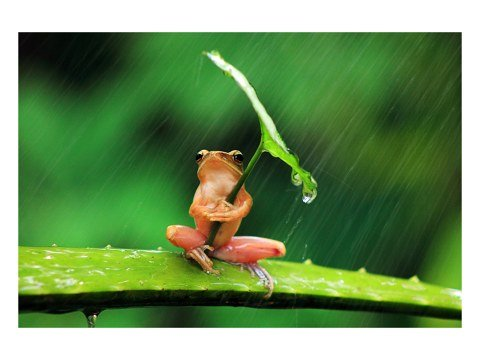 Frog ombrello Photo