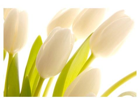 tulipani immagini