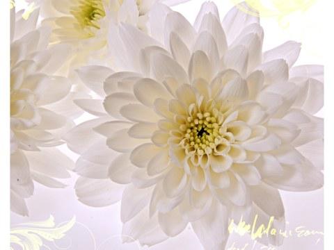 immagini Fiori bianchi